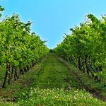 Myter om vin og sundhed