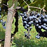 Georgien - Vinens oprindelsesland